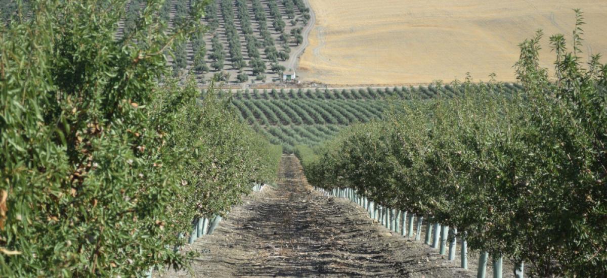 Preinscripción hasta el 1 de octubre en el curso de especialista en cultivo de almendro en seto