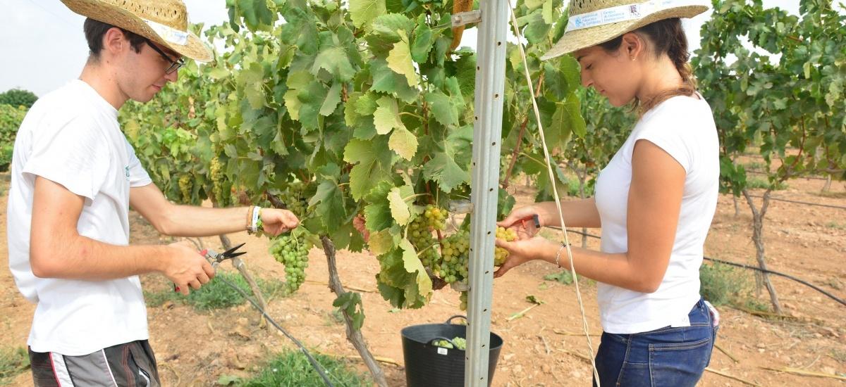 Foto: La UPCT vendimia unos 6.000 kilos de uva merseguera, con la que se quieren obtener los cer